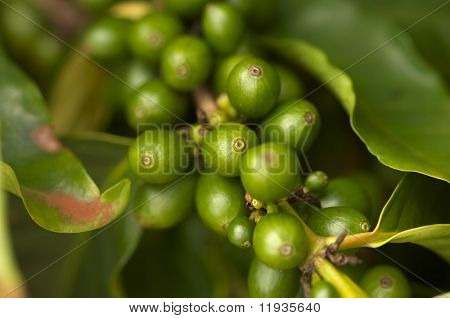 Coffee Beans on the Branch in Kauai, Hawaii
