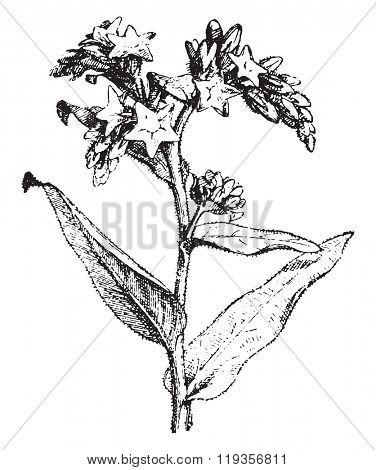 Bugloss, vintage engraved illustration. Dictionary of words and things - Larive and Fleury - 1895.