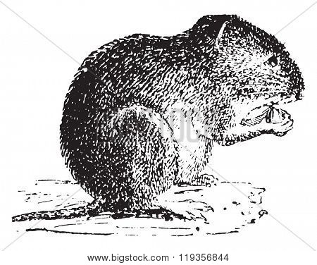 Vole, vintage engraved illustration. Dictionary of words and things - Larive and Fleury - 1895.