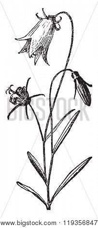 Campanula, vintage engraved illustration. Dictionary of words and things - Larive and Fleury - 1895.