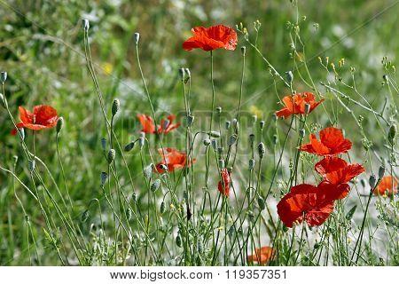 Poppy Field. Meadow Overgrown With Wild Red Poppy