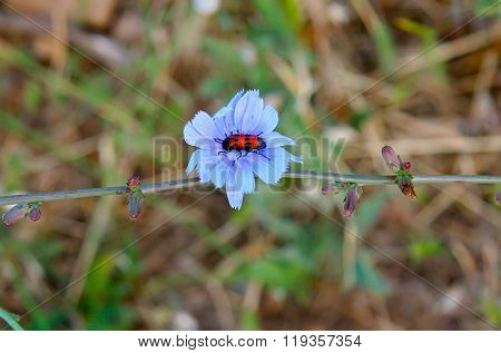 Red Beetle With Black Dots Sitting In A Blue Flower Of Chicory. Sprig Chicory Bud And A Flower. Melo