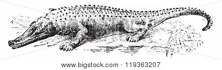 Caiman, vintage engraved illustration. Dictionary of words and things - Larive and Fleury - 1895.
