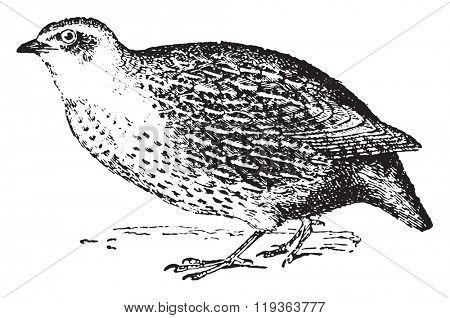 Quail, vintage engraved illustration. Dictionary of words and things - Larive and Fleury - 1895.