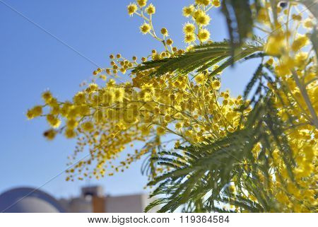 Branches of mimosa.