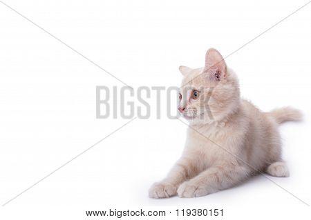 Kitten In White Background