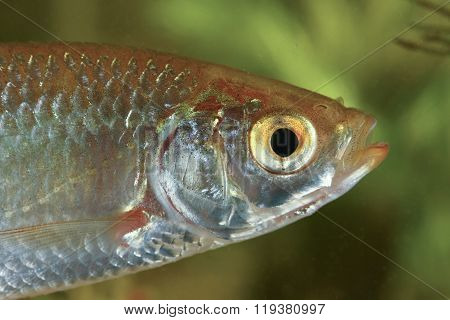Portrait Of Common Rudd Fish