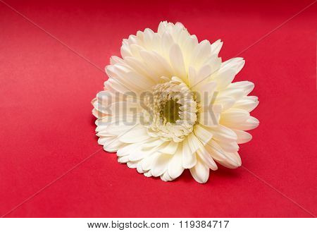 White Gerbera Flower On Red Background