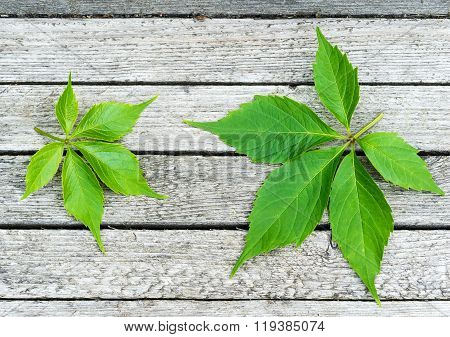 Green Virginia Creeper Leaves On Wood Background