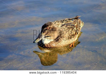 Female Shoveler Duck