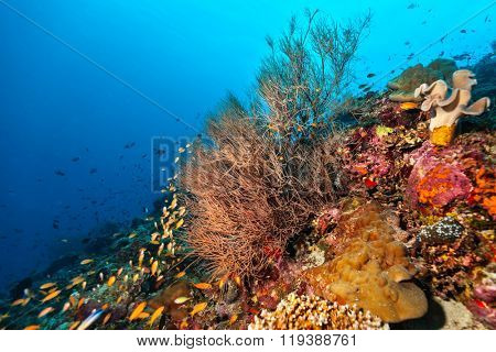 Coral reef with detail of soft corals and exotic fish on bottom of Indian ocean, Maldives.