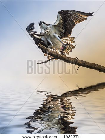 Osprey Bird Holding A Fish Reflection In The Water