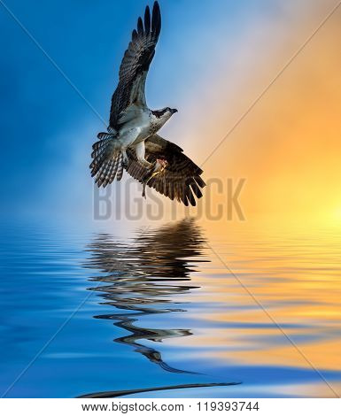 Osprey With Fish At Sunset Reflection In The Water