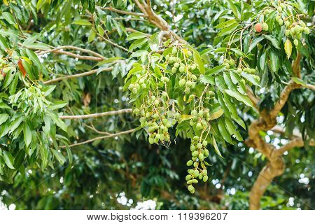 Young Litchi On Tree