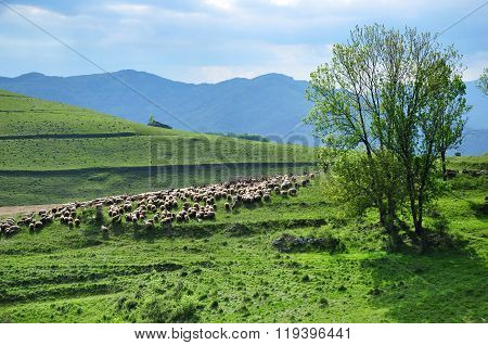 Flock Of Sheep In The Spring
