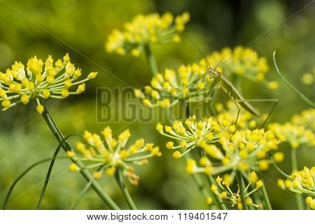 Mantis on fennel flower