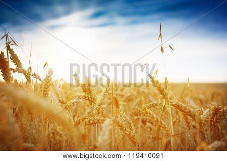 Cornfield Against A Blue Sky