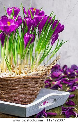 Crocuses, Table Decorations In Spring