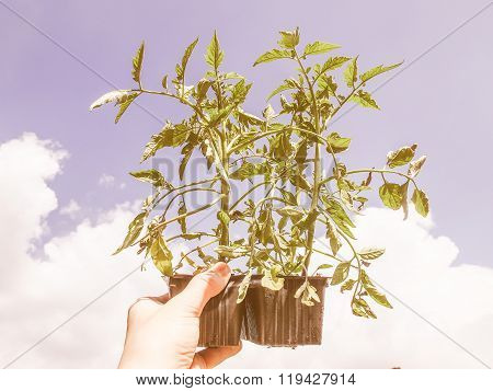 Retro Looking Plug Tomato Plant