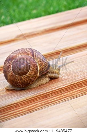 Big Snail Crawling On Wooden Table. Macro Foto.