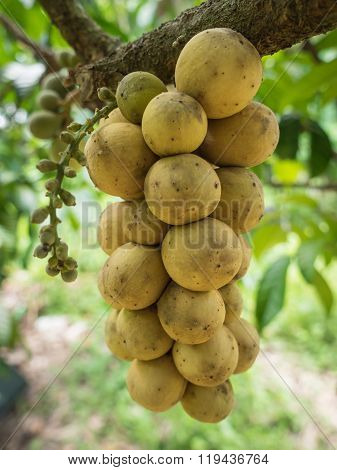 The Delicious Fresh Wollongong Fruits On Tree In The Wollongong Farm.
