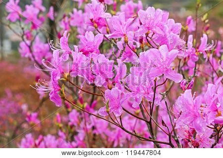 Soft focus of beautiful wet Azaleas blossoming at Tenpaku Park in Nagiso, Nagano during Spring in Japan