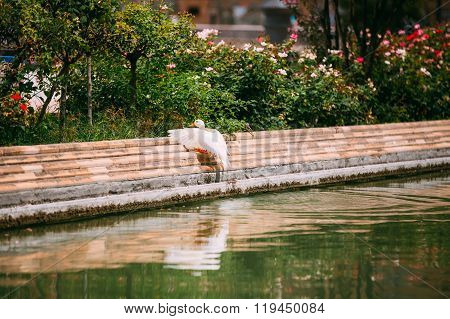 White duck sit near canal. European fauna.