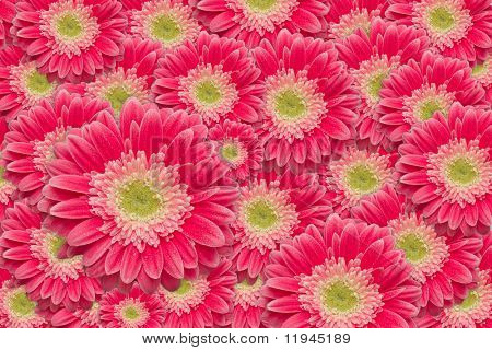 Bright Pink Gerber Daisies with Water Drops Background Pattern.
