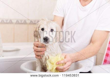 golden retriever puppy in shower