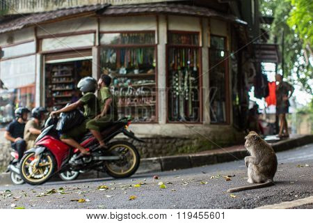 UBUD, INDONESIA - FEB 25, 2016: Monkey on the street in Ubud centre - city is one of Bali's major arts and culture centres, it has developed a large tourism industry, has of about 30,000 population.