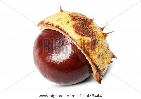 Horse Chestnut In Shell.