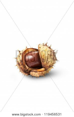 Horse Chestnut On Craked Shell.
