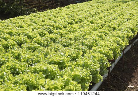 Organic Vegetables Hydro Phonic Plantation