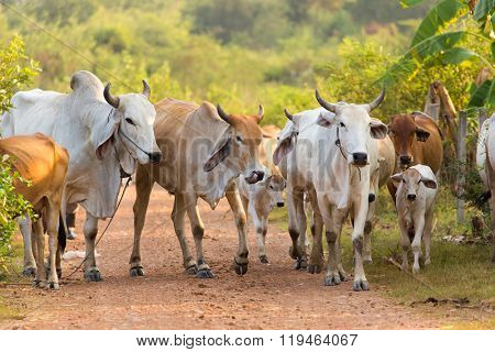 Asian cows herd walking in a path in the Kanchanaburi province, Thailand