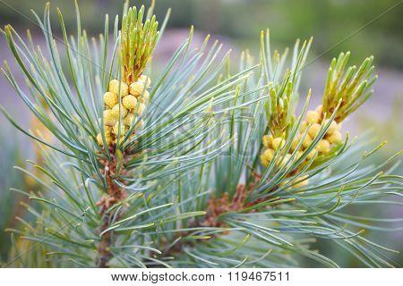 Pine Elfin With Yellow Cones