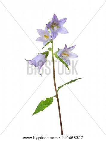 Light violet Bellflowers isolated on white.