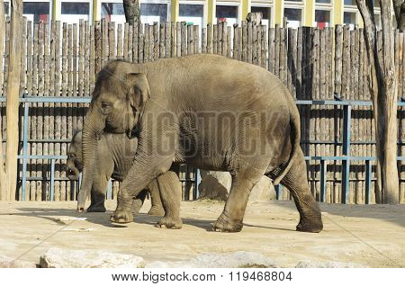 The elephant in the zoo. Big big strong animal. Safari object. Huge tusks.