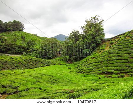 Landscape panorama view of green tea plantation field