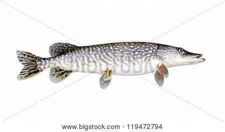 Northern Pike Isolated