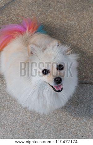 White Pomeranian Dog Grooming With Colourful Tail, Cute Pet Smiling Happy