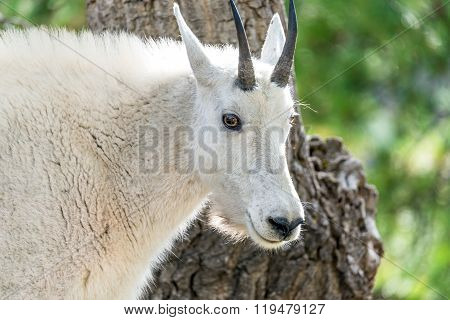Rocky Mountain Goat Closeup