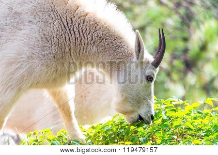 Rocky Mountain Goat Eating