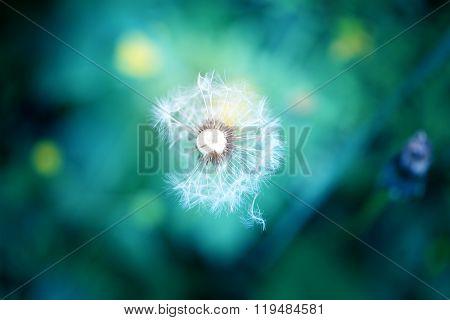 Photo Lovely Dandelion