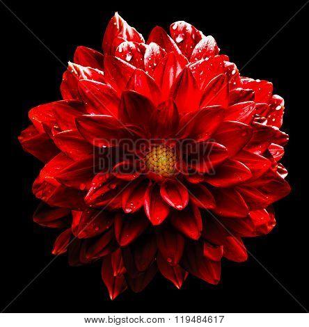 Surreal Wet Dark Chrome Red Flower Dahlia Macro Isolated On Black