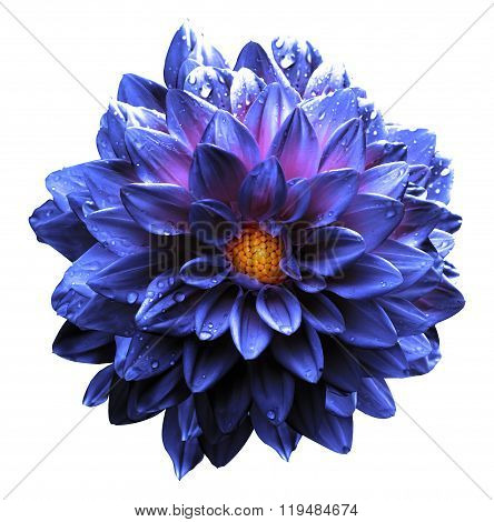 Surreal Wet Dark Chrome Violet And Blue And White Flower Dahlia Macro Isolated On White