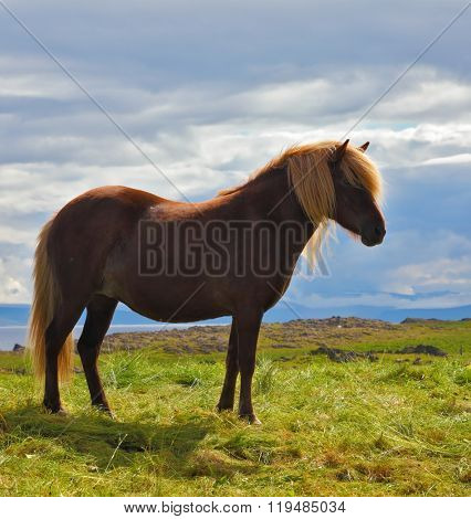 Farmer sleek bay horse with a light mane. Warm summer day in Iceland. Green lawn on the shores of the fjord