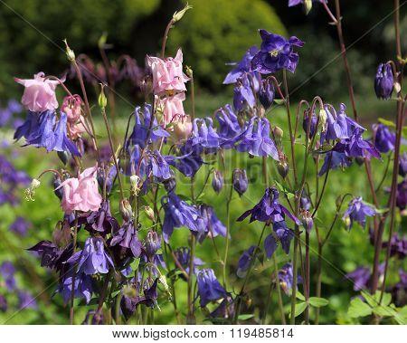 Aquilegia vulgaris - violet and pink columbine in the garden.