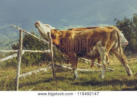 Organic Livestock Breeding