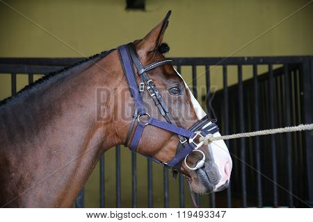 Side View Portrait Of A Young Racehorse
