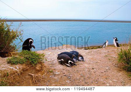 Penguin at Punta Delgada in Península Valdés
